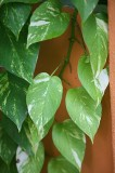 a cool Vine of Large Leaves growing on the Wall ...