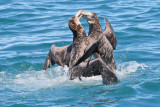 Two Northern Giant Petrels Fighting (7947)