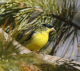 Lesser Goldfinch (Male) (0196)