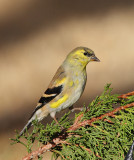 American Goldfinch (5014)