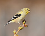American Goldfinch (5684)