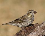 Cassin's Finch (Female) (5337)