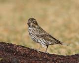 Cassin's Finch (Female) (5426)