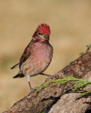 Cassin's Finch (Male) (5243)