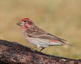 Cassin's Finch (Male) (5528)