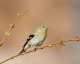 American Goldfinch (5810)
