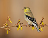 American Goldfinch (6185)