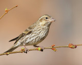 Cassin's Finch (Female) (5836)
