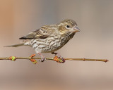 Cassin's Finch (Female) (5870)