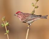 Cassin's Finch (Male) (5946)