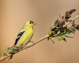 American Goldfinch (Male) (6535)