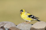 American Goldfinch (Male) (6563)