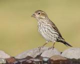 Cassin's Finch (Female) (6503)