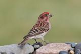 Cassin's Finch (Male) (6662)