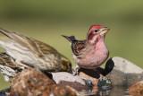 Cassin's Finch (Male) (6826)