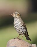 Cassin's Finch (Female) (7052)