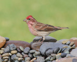 Cassin's Finch (Male) (7531)