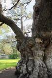 A Massive Oak Tree Trunk (2163)