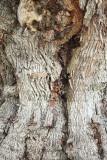 Columbus Oak Tree Bark (2161)
