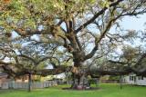 Live Oak Tree in Columbus, TX (2156)