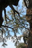 Looking up into the Oak Crown (2162)