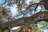 Moss Growing on a Tree Limb (2166)
