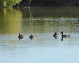 American Wigeon (two on the right) (2783)