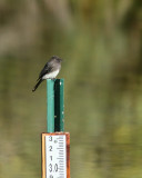 Black Phoebe on Depth Gauge (2884)