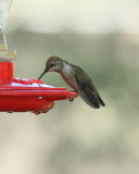 Black-chinned Hummingbird (2998)