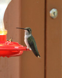 Black-chinned Hummingbird (3024)