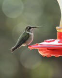 Black-chinned Hummingbird (3026)