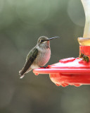 Black-chinned Hummingbird (3037)