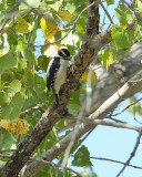 Downy Woodpecker (3066)
