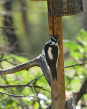 Hairy Woodpecker (3020)