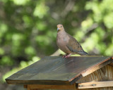 Mourning Dove (3040)