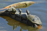 Painted Turtle and 3 Red-eared Sliders (3076)