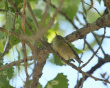 Ruby-crowned Kinglet (3068)
