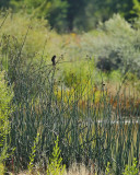 Say's Phoebe in the Reeds (2837)