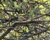 White-crowned Sparrow (3013)