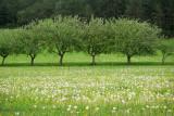 Manzanos / Apple trees