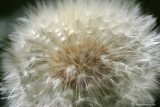 The softness of a dandelion