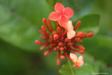 Ixora (flame of the woods)