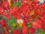 Poinciana flowers