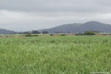 Sugar Cane Country