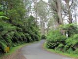 The road in Tarra Bulga Park