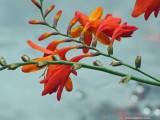 Dierama fairy wand flower