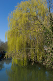 Willow on the Oxford Canal