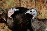 Wild Turkeys (Juveniles)