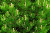 Spruce Growth