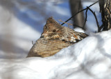 Ruffed Grouse resting in snow